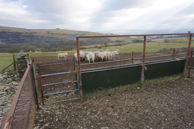 Sheep feeding by Oddie's Lane