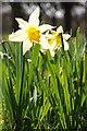 SO6831 : Wild daffodils by Philip Halling
