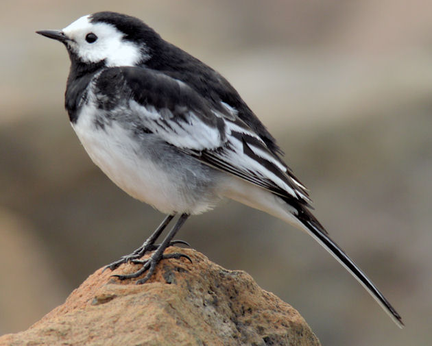 Pied wagtail, Holywood (March 2015)