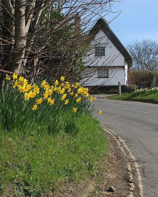 Thriplow: roadside daffodils