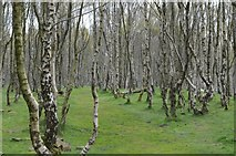 SK2479 : Silver Birch Woodland in the Disused Bolehill Quarry by Andrew Tryon