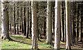 J4477 : Conifers, Cairn Wood, Craigantlet (March 2015) by Albert Bridge