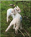 SS8847 : Lambs by Sparkhayes Lane by Derek Harper