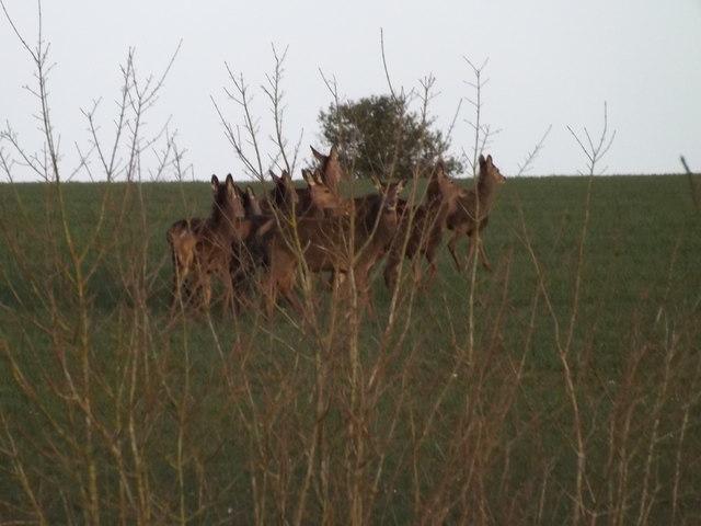 Deer grazing off Halesworth Road