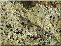 NS3778 : A lichen - Mycoblastus sanguinarius by Lairich Rig
