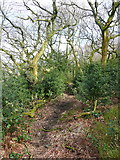SE0722 : A path between holly trees by Humphrey Bolton