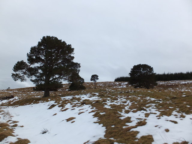 Old Pines and plantation, Cnoc a' Bhreacaich