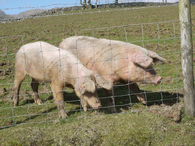 Pigs on farm near Pont ar Felau