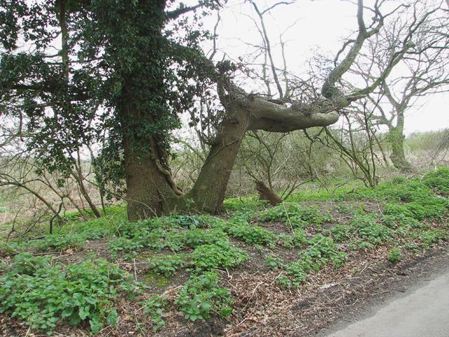 Gnarly old oak beside Mangreen