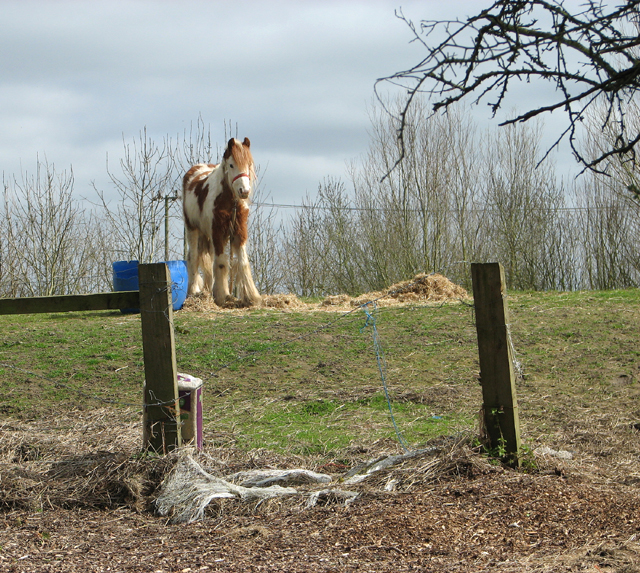 A skewbald pony at Brooks Green
