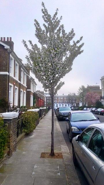 Tree in Blossom, gertrude Street, Chelsea