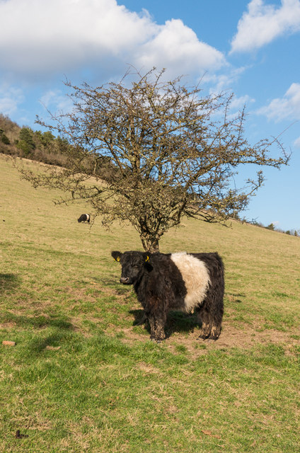 Belted Galloway, Lower Box Hill Farm