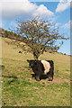 TQ1850 : Belted Galloway, Lower Box Hill Farm by Ian Capper