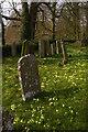 TQ6652 : St Michael's churchyard, East Peckham: primroses and gravestones by Christopher Hilton