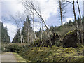 NH4857 : Storm-felled trees beside the Blackmuir Wood forestry road by Julian Paren