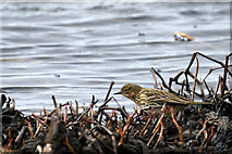 HP6312 : Meadow Pipit (Anthus pratensis), Haroldswick pool by Mike Pennington
