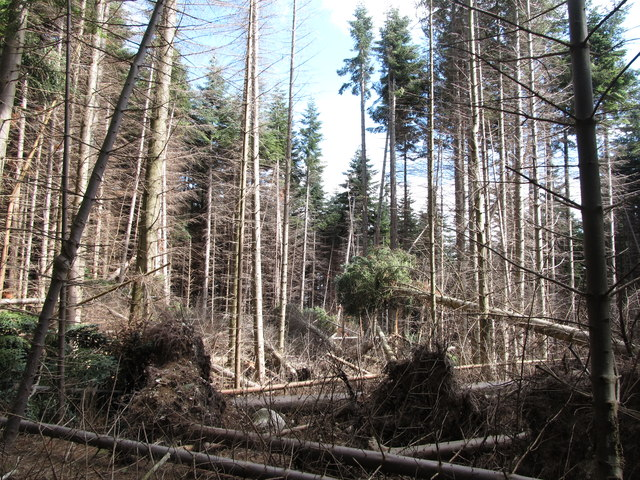 Storm uprooted trees in the Donard Forest