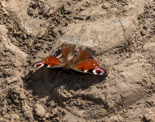 Peacock Butterfly, Heartwood Forest, Sandridge, Hertfordshire