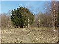 TQ0851 : Yew tree, Sheepleas by Alan Hunt