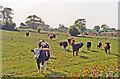 SE9842 : Cattle near Etton by Ben Brooksbank