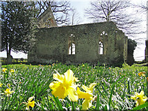 TM1685 : Daffodils in Tivetshall St. Mary's churchyard by Adrian S Pye