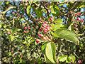 TQ2897 : Crab Apple Blossom, Trent Park, Cockfosters, Hertfordshire by Christine Matthews