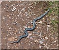 NZ9701 : Common Adder (Vipera berus) by Russel Wills