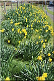 NX6280 : Daffodils in St John's Town of Dalry by Billy McCrorie