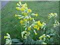 TF0820 : Primula veris by Bob Harvey