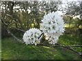 TF0820 : Blackthorn blossom by Bob Harvey