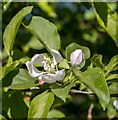 TQ3398 : Apple Blossom, Forty Hall Farm, Enfield by Christine Matthews