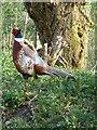 TQ0107 : Cock pheasant, Arundel Wetland Centre by Rob Farrow