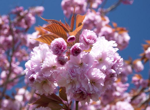 Ornamental Cherry - Llantwit Major