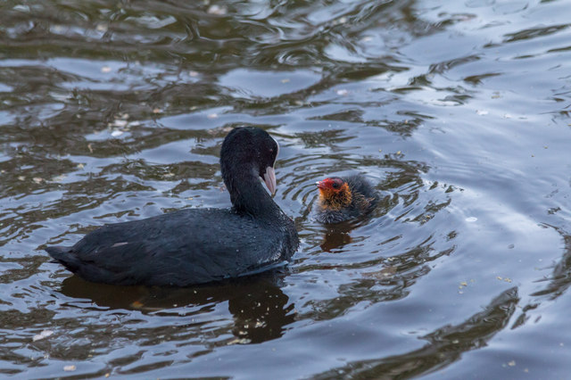 Coot and Chick, New River Loop, Enfield