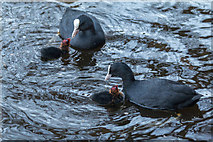 TQ3296 : Coots and Chicks, New River Loop, Enfield by Christine Matthews