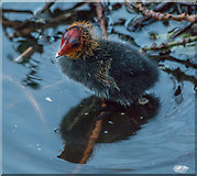 TQ3296 : Coot Chick, New River Loop, Enfield by Christine Matthews