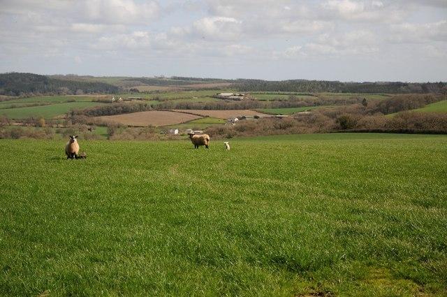 Sheep in a field above Bridge Wood