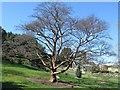 NT2475 : Paperbark Maple, Royal Botanic Garden Edinburgh by Graham Robson