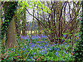 SD3201 : Bluebells in Crosby Hall Estate by Norman Caesar