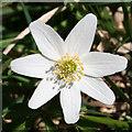 NO7192 : Windflower (Anemone nemorosa) by Anne Burgess
