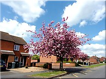 TF0920 : Cherry blossom in Queen's Road at Bourne, Lincolnshire by Rex Needle