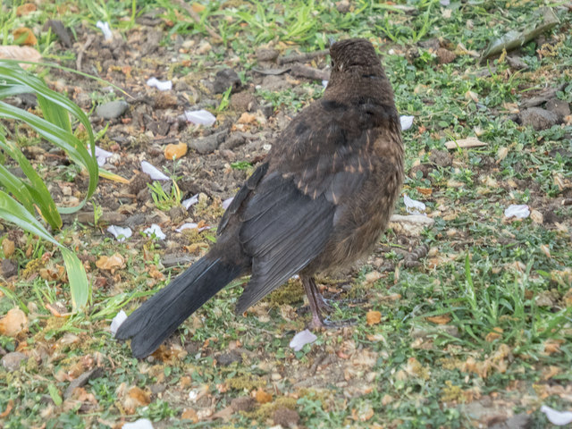 Young Blackbird, Lincolns Inn Fields, London WC1