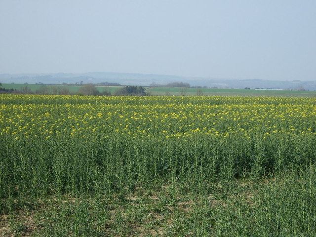 Oilseed rape crop near Tranwell