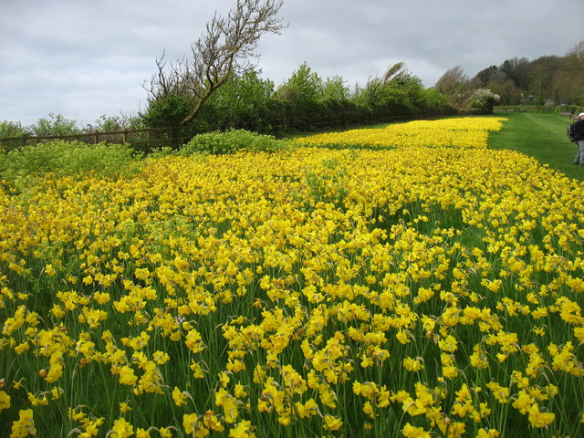 Daffodils by the South West Coast Path leaving Sidmouth