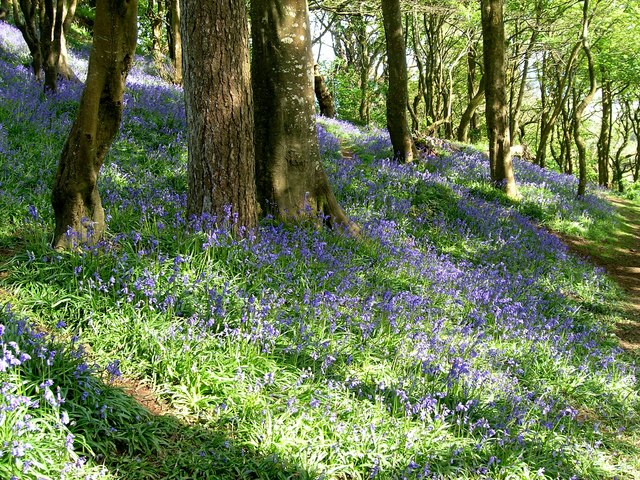Bluebell Dell above Newlyn