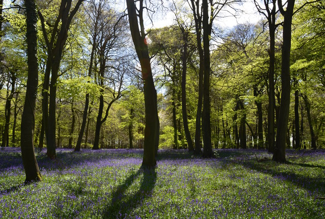 Bluebells and beeches in Park Wood, Oxfordshire