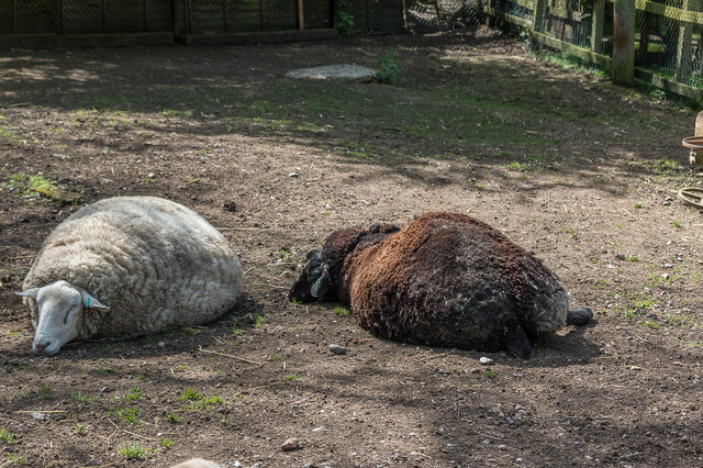 Sheep at Wildlife Rescue Centre Trent Park, London N14