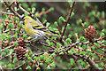 SE8094 : Siskin feeding in natural habitat by Pauline E