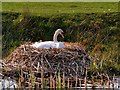 SD7807 : Swan Nesting; Manchester,Bolton and Bury Canal by David Dixon