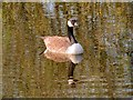 SD7807 : Canada Goose; Manchester, Bolton and Bury Canal by David Dixon